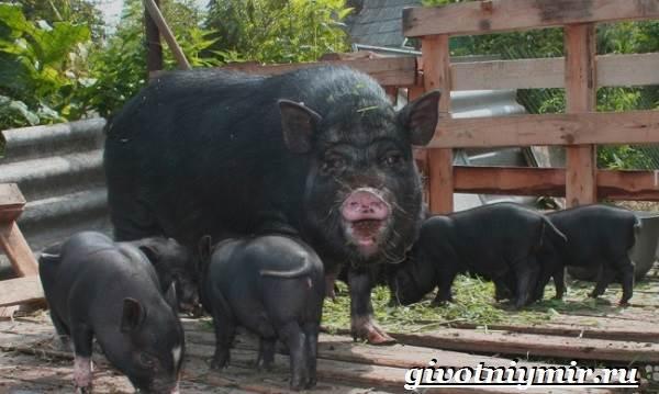 Вьетнамская-свинья-Описание-особенности-разведение-и-цена-вьетнамской-свиньи-4