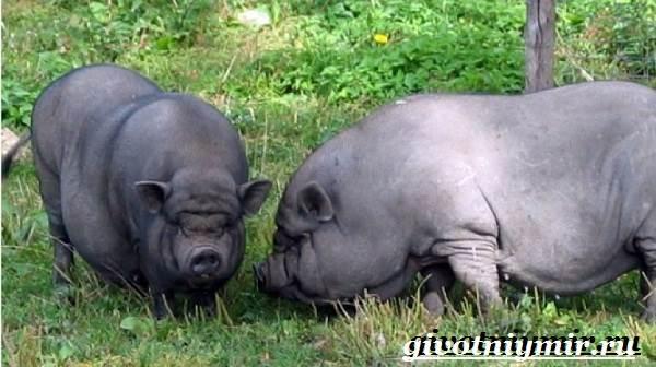 Вьетнамская-свинья-Описание-особенности-разведение-и-цена-вьетнамской-свиньи-5