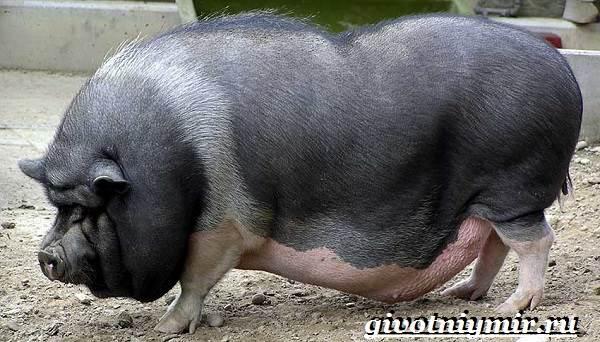 Вьетнамская-свинья-Описание-особенности-разведение-и-цена-вьетнамской-свиньи-6