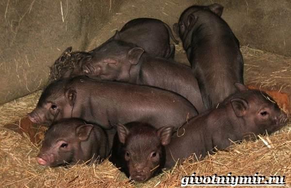 Вьетнамская-свинья-Описание-особенности-разведение-и-цена-вьетнамской-свиньи-8