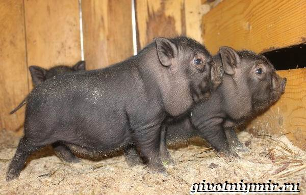Вьетнамская-свинья-Описание-особенности-разведение-и-цена-вьетнамской-свиньи-9