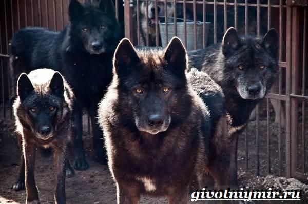Вольфхунд-собака-Описание-особенности-уход-и-цена-породы-вольфхунд-1