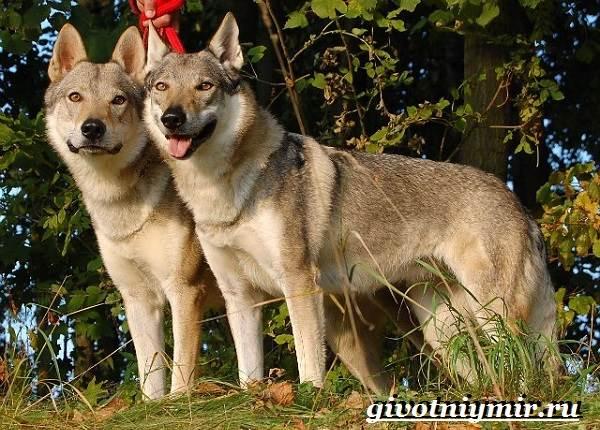 Вольфхунд-собака-Описание-особенности-уход-и-цена-породы-вольфхунд-4