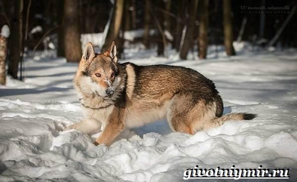 Вольфхунд-собака-Описание-особенности-уход-и-цена-породы-вольфхунд-5
