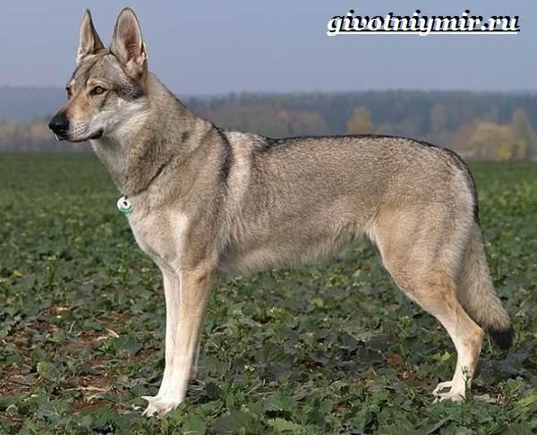 Вольфхунд-собака-Описание-особенности-уход-и-цена-породы-вольфхунд-7