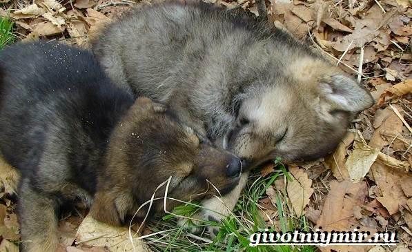 Вольфхунд-собака-Описание-особенности-уход-и-цена-породы-вольфхунд-8