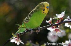 Волнистый попугай. Образ жизни и среда обитания волнистого попугая