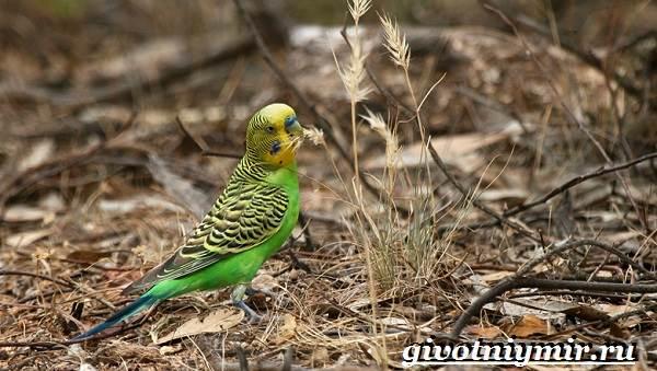 Волнистый-попугай-Образ-жизни-и-среда-обитания-волнистого-попугая-11