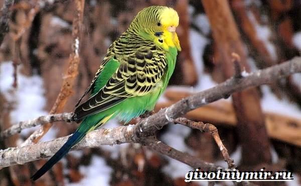 Волнистый-попугай-Образ-жизни-и-среда-обитания-волнистого-попугая-2