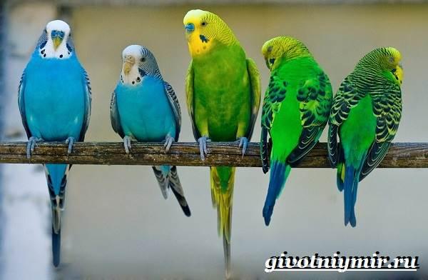 Волнистый-попугай-Образ-жизни-и-среда-обитания-волнистого-попугая-3