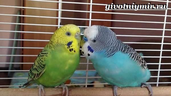 Волнистый-попугай-Образ-жизни-и-среда-обитания-волнистого-попугая-4