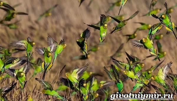 Волнистый-попугай-Образ-жизни-и-среда-обитания-волнистого-попугая-5