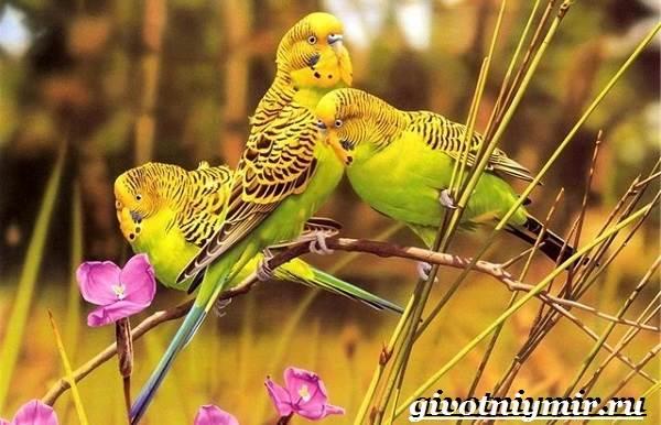 Волнистые попугайчики в природе