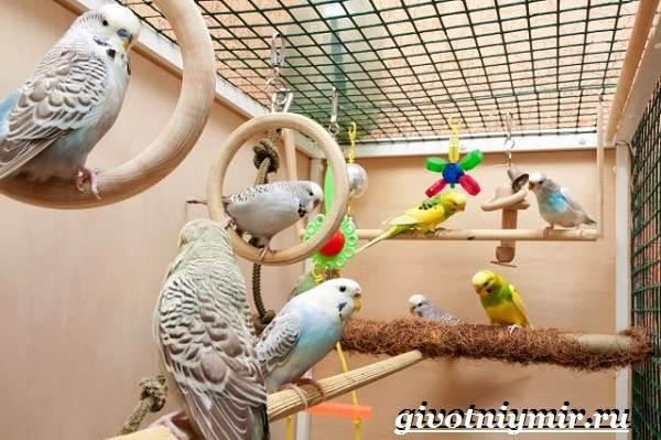 Волнистый-попугай-Образ-жизни-и-среда-обитания-волнистого-попугая-7