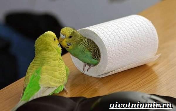 Волнистый попугай много пьет