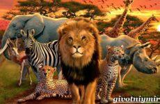 Животные Африки. Образ жизни и среда обитания животных Африки