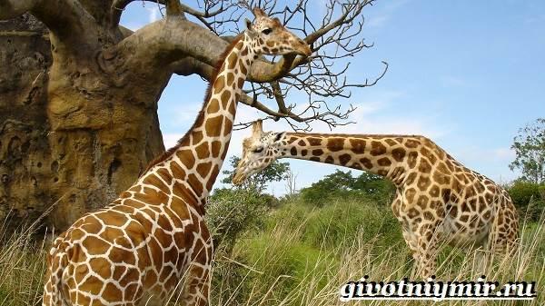 Животные-Африки-Образ-жизни-и-среда-обитания-животных-Африки-12