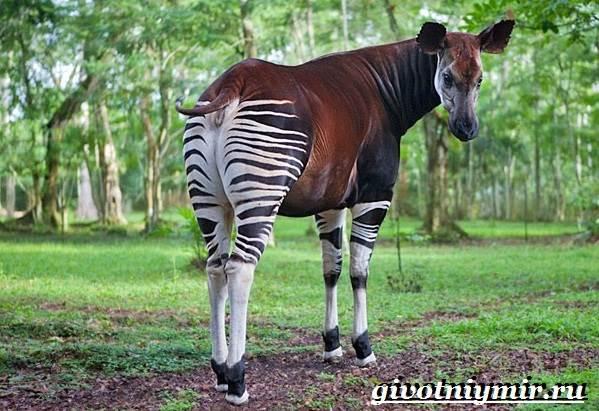 Животные-Африки-Образ-жизни-и-среда-обитания-животных-Африки-25