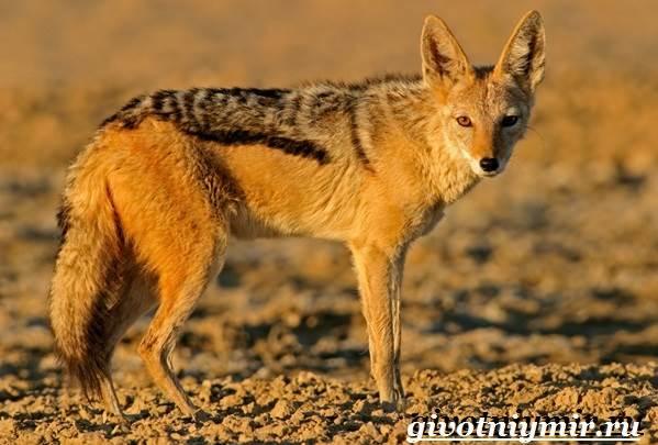 Животные-Африки-Образ-жизни-и-среда-обитания-животных-Африки-6