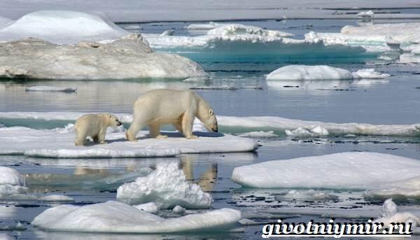 Животные-Арктики-1