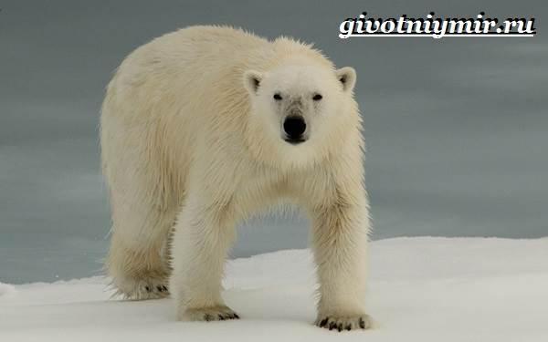 Животные-Арктики-11