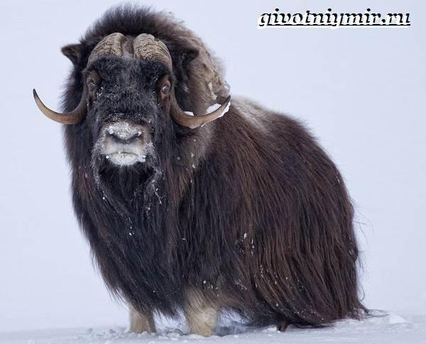 Животные-Арктики-12