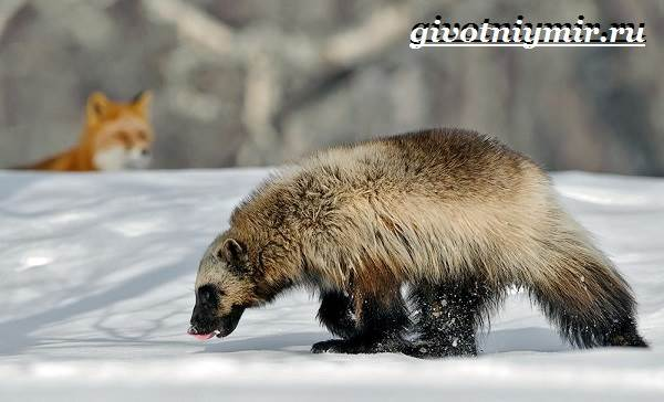 Животные-Арктики-18