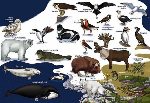 Животные-Арктики-3