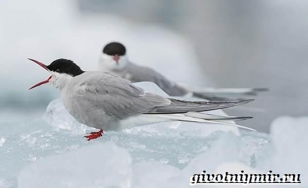Животные-Арктики-32