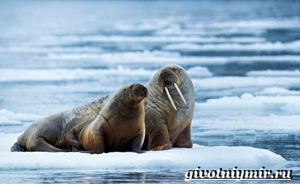 Животные-Арктики-9
