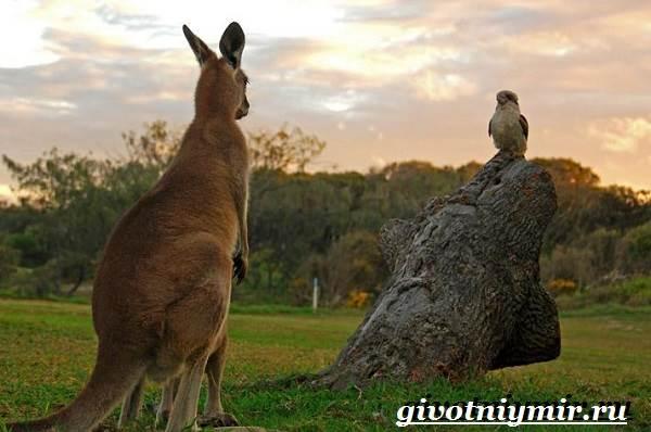 Животные-Австралии-2