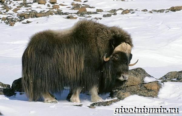 Животные-тундры-7