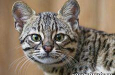 Жоффруа кошка. Описание, особенности, уход и цена кошки Жоффруа