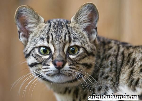 Жоффруа-кошка-Описание-особенности-уход-и-цена-кошки-Жоффруа-1
