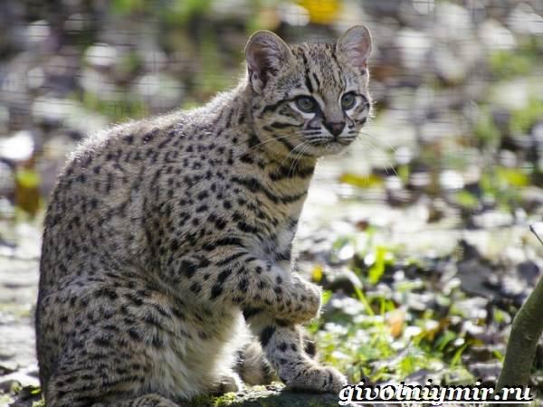 Жоффруа-кошка-Описание-особенности-уход-и-цена-кошки-Жоффруа-2