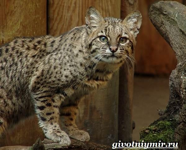 Жоффруа-кошка-Описание-особенности-уход-и-цена-кошки-Жоффруа-3
