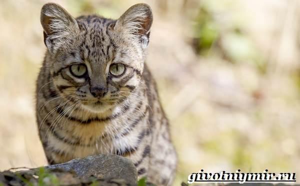 Жоффруа-кошка-Описание-особенности-уход-и-цена-кошки-Жоффруа-4