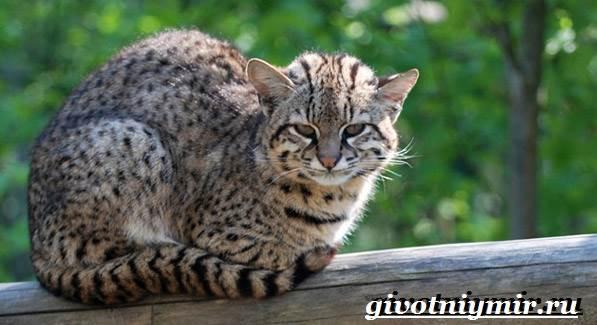 Жоффруа-кошка-Описание-особенности-уход-и-цена-кошки-Жоффруа-5