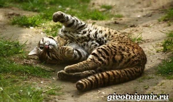 Жоффруа-кошка-Описание-особенности-уход-и-цена-кошки-Жоффруа-6