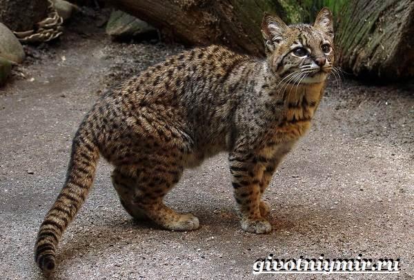 Жоффруа-кошка-Описание-особенности-уход-и-цена-кошки-Жоффруа-7
