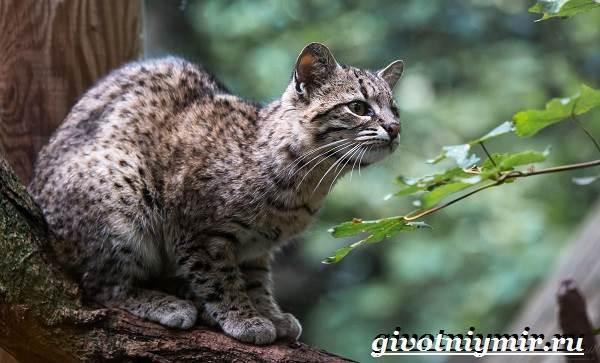 Жоффруа-кошка-Описание-особенности-уход-и-цена-кошки-Жоффруа-8