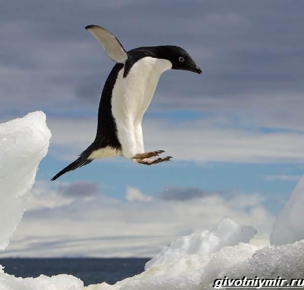 Адели-пингвин-Образ-жизни-и-среда-обитания-пингвина-адели-1
