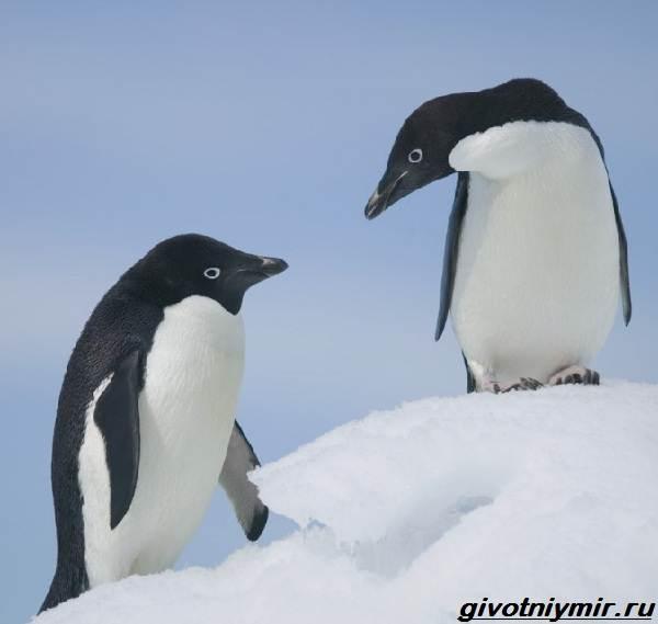 Адели-пингвин-Образ-жизни-и-среда-обитания-пингвина-адели-2