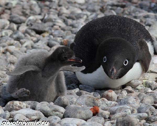 Адели-пингвин-Образ-жизни-и-среда-обитания-пингвина-адели-4