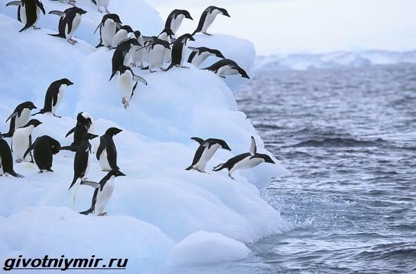 Адели-пингвин-Образ-жизни-и-среда-обитания-пингвина-адели-5