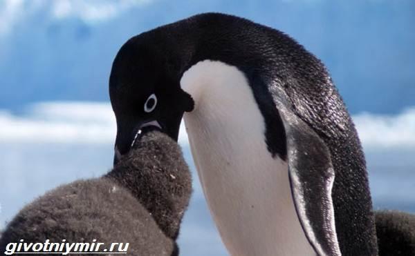 Адели-пингвин-Образ-жизни-и-среда-обитания-пингвина-адели-6