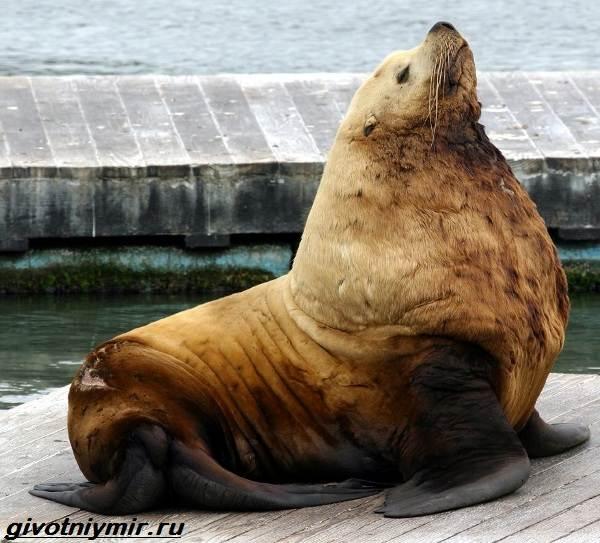 Сивуч-животное-Образ-жизни-и-среда-обитания-тюленя-сивуча-1