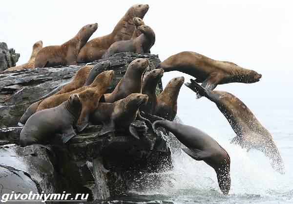 Сивуч-животное-Образ-жизни-и-среда-обитания-тюленя-сивуча-3