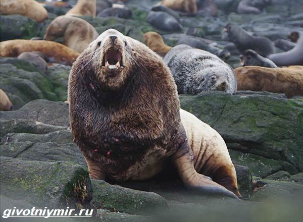 Сивуч-животное-Образ-жизни-и-среда-обитания-тюленя-сивуча-6