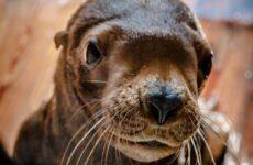 Сивуч животное. Образ жизни и среда обитания тюленя сивуча